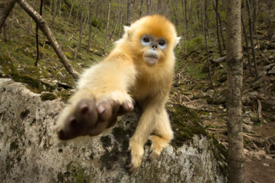 Juvenile golden snub-nosed monkey reaching out for camera captured with a normal camera lens, Qinling Mountains, China