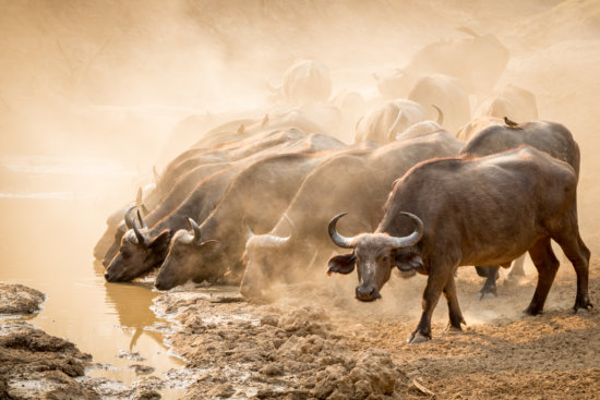 Cape buffalo (Syncerus caffer) drinking at waterhole, South Luangwa NP, Zambia by Karin De Winter and Jo Van Rossem