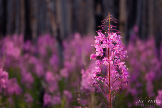 Shallow depth of field and selective focus was used to isolate this flower from the background, Kootenay National Park, British Columbia by Jay Patel