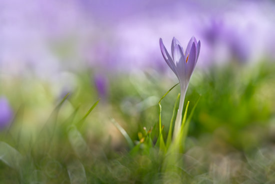 Photographing crocuses with a macro photography lens and shallow depth of field by Padma Inguva