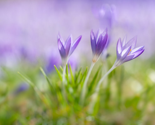 Cover for flower photography blog post about crocuses and snowdrops by Padma Inguva.