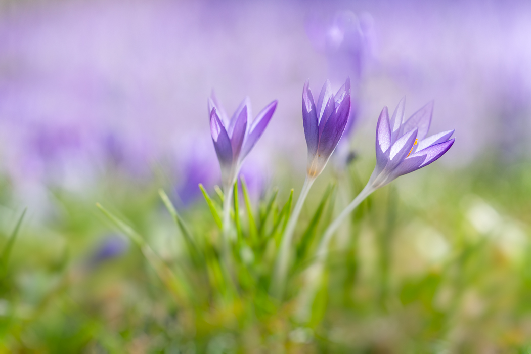 Backyard Flower Photography Tips to Capture Snowdrops and Crocuses