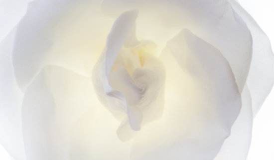 Flower photography using photo light box after post processing with NIk Plugins by Padma Inguva