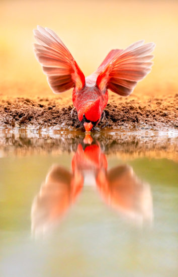 Photographing cardinal drinking water - f6.3   1/2000s   ISO 2500