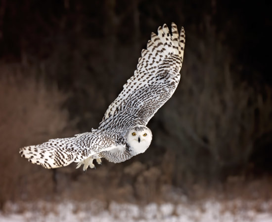 Snowy Owl in sharp focus using captured using Zone Tracking and eye autofocus lock by Jane Palmer