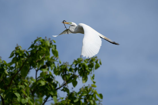 Original photo of Snowy Egret in action by Jane Palmer